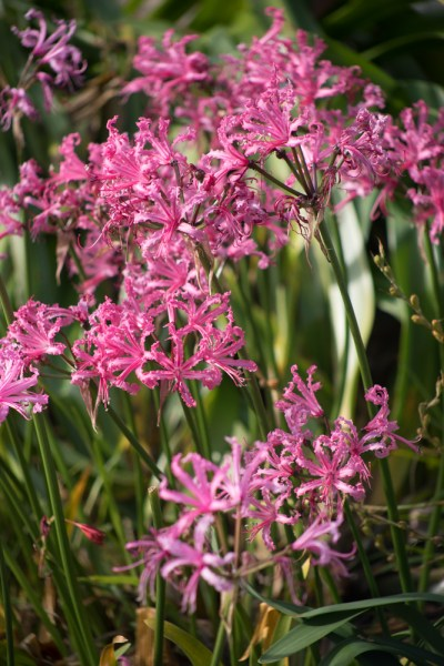 Nerine bowdenii in the South African Bulb Bed, photograph by Maggie Bucknall, The Week That Was, Winterbourne House and Garden, Digging for Dirt