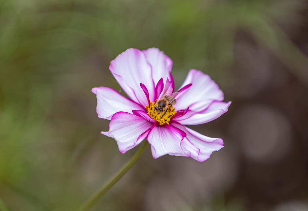 Cosmos in the Walled Garden, photograph by Duncan Walker, Snapshot, Winterbourne House and Garden, Digging for Dirt