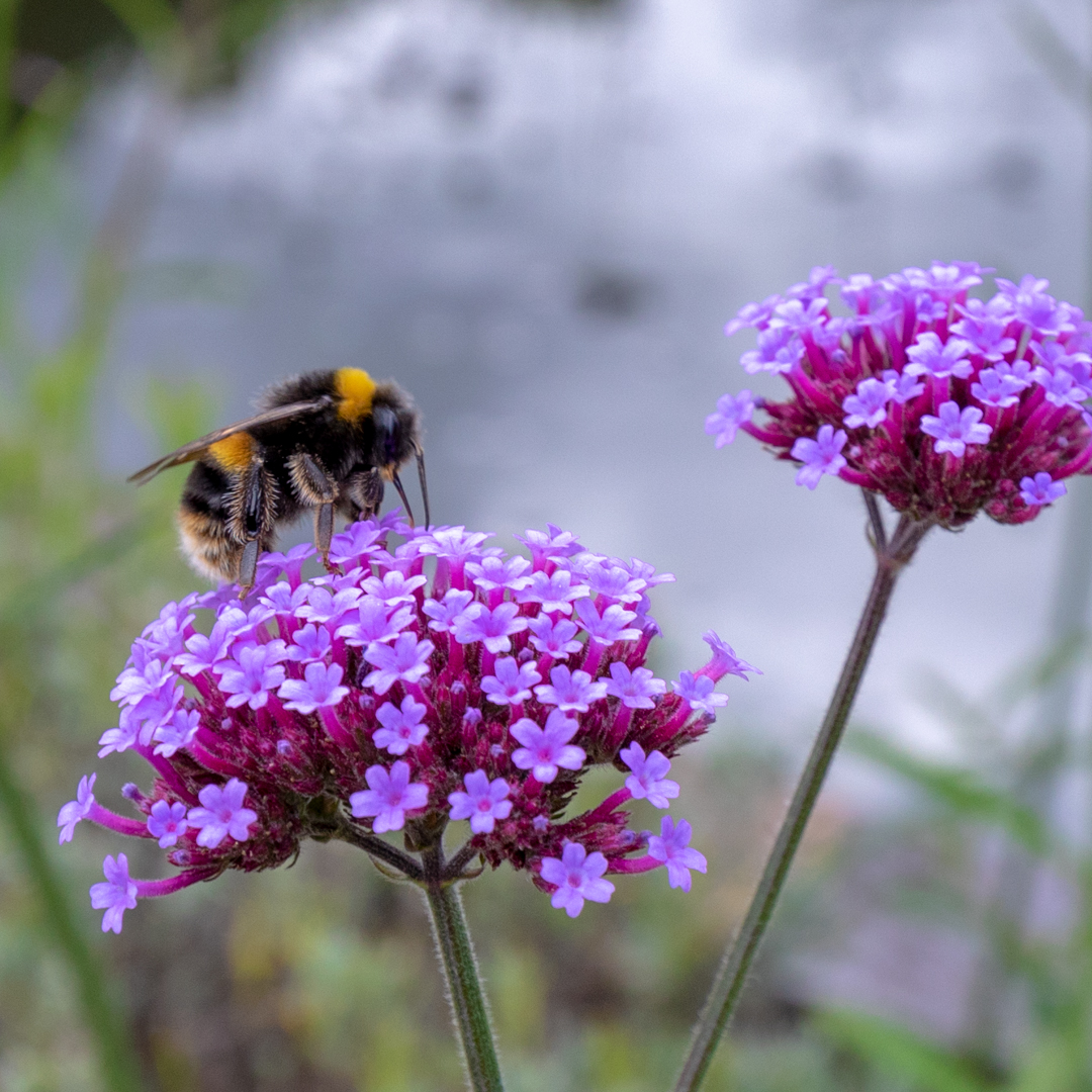 Verbena bonariensis in the Walled Garden, photograph by Duncan Walker, Snapshot, Winterbourne House and Garden, Digging for Dirt