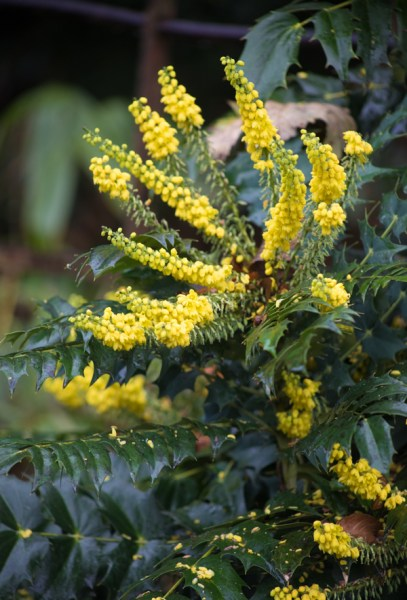 Mahonia japonica in the Rhododendron Walk, photograph by Maggie Bucknall, The Week That Was, Winterbourne House and Garden, Digging for Dirt