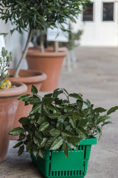New Zealand holly on sale on the Terrace, photography by Maggie Bucknall, The Week That Was, Winterbourne House and Garden, Digging for Dirt