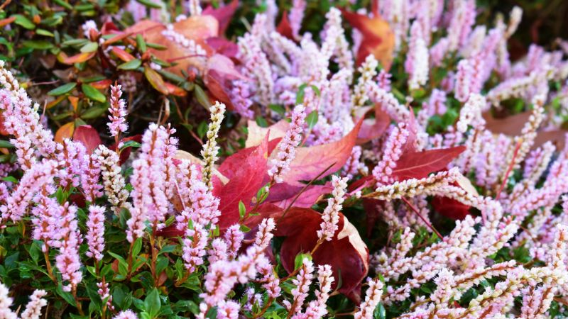 Polygonum vacciniifolium in the Sandstone Rock Garden, photograph by Victoria Buchanan, Snapshot, Winterbourne House and Garden, Digging for Dirt