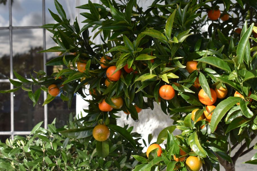 Orange tree on the Terrace, photograph by Victoria Buchanan, Snapshot, Winterbourne House and Garden, Digging for Dirt