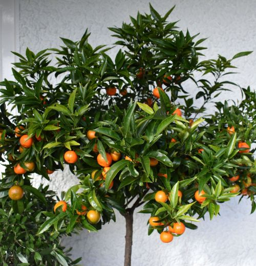 Citrus on the Terrace last summer, photograph by Victoria Buchanan, The Week That Was, Digging for Dirt, Winterbourne House and Garden