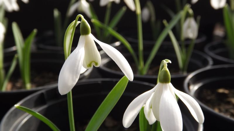 Snowdrops, The Week That Was, Digging for Dirt, Winterbourne House and Garden