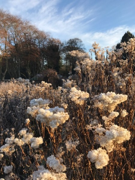 Eupatorium seedheads before cutting back in the Walled Garden, photograph by Marie Belfort, The Week That Was, Digging for Dirt, Winterbourne House and Garden