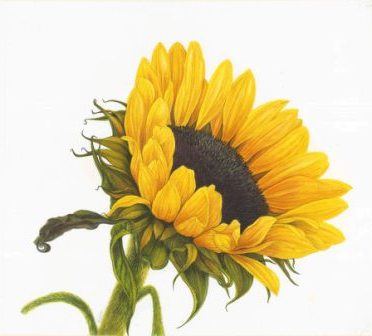 Painting of sunflower by Jeni Neale