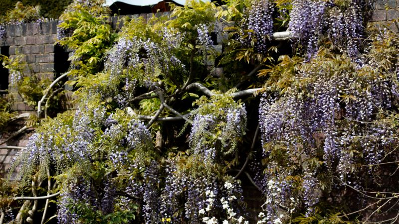 Wisteria, photograph by Maggie Bucknall, The Week That Was, Digging for Dirt, Winterbourne House and Garden