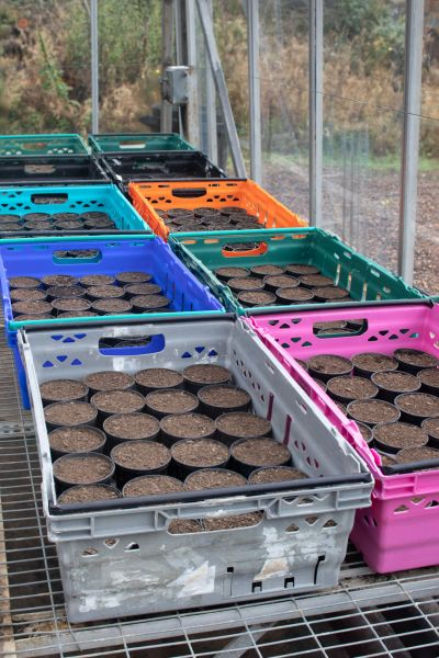 Spring bulbs being potted in our Nursery Area, photograph by Tony Bucknall, The Week That Was, Digging for Dirt, Winterbourne House and Garden