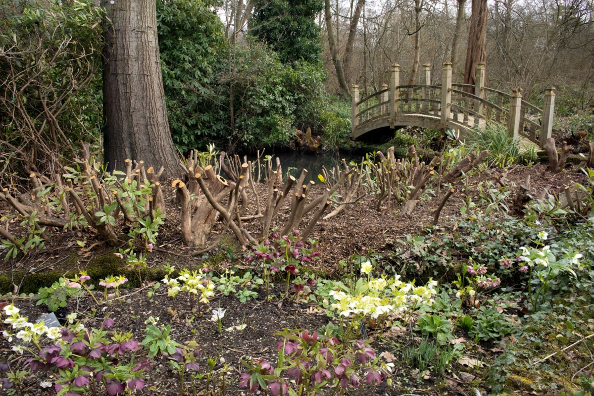 The Japanese Bridge today after hard pruning of Rhododendron ponticum, Photograph by Maggie Bucknall, What's Happening Here?, Digging for Dirt, Winterbourne House and Garden