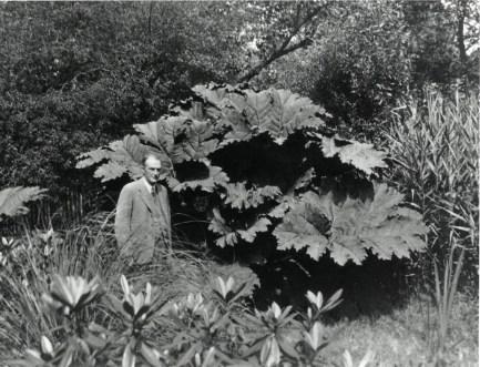 John Nicholson standing under the Gunnera