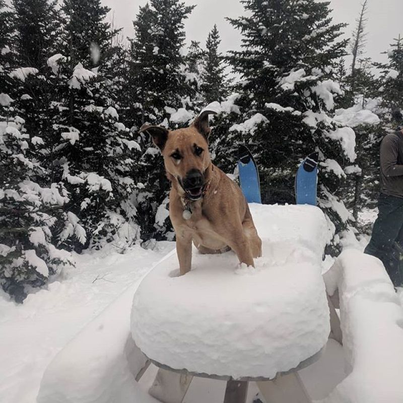Ace, the shop dog, sitting on the Partywave table at the horseshoe. Snow is starting to pile up at the loaf!..#splitboarding #acethedog#sugarloaf#Winterstick#everythingcomesinasplit#snow#theloaf