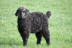 colored angora doeling