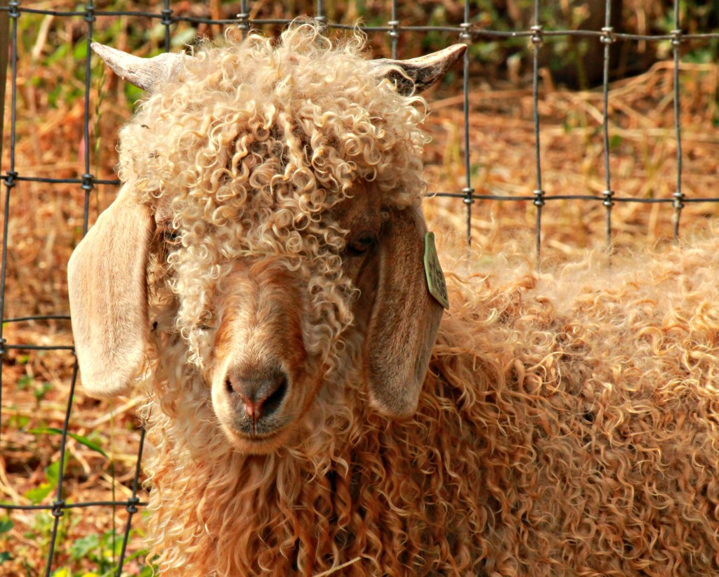 Colored Angora Goats for Sale