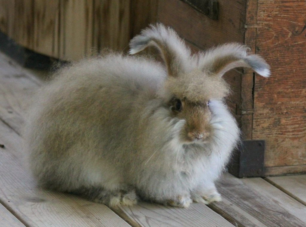 angora rabbit for sale