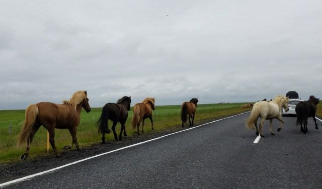 Icelandic horses on road