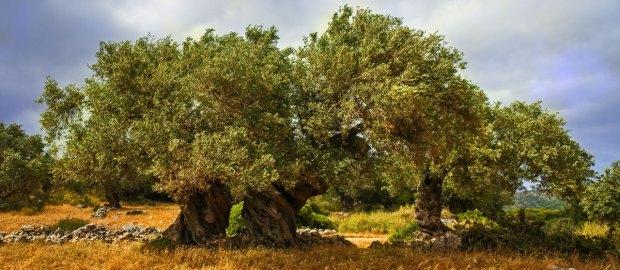 Olivi e Puglia
