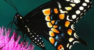 Le farfalle: nella letteratura, nell'arte, nello stomaco, in cucina…
