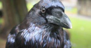 Il paradosso dei corvi – La criticità delle generalizzazioni
