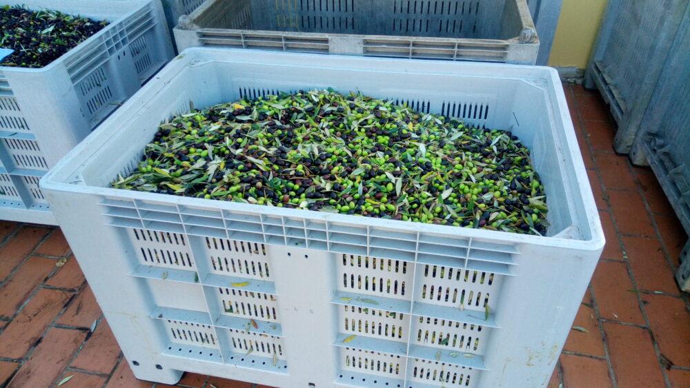Come tante piccole olive…