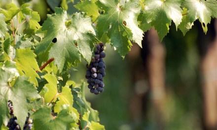 Führung zur Geschichte des Weinbaues in der Stadt Mainz