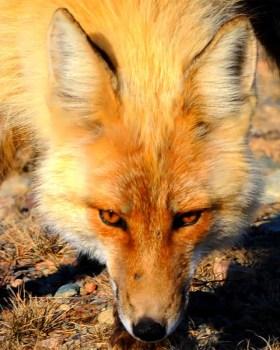 Verzweifelter Fuchs beißt seine Retter. (Symbolbild: stock:xchng)