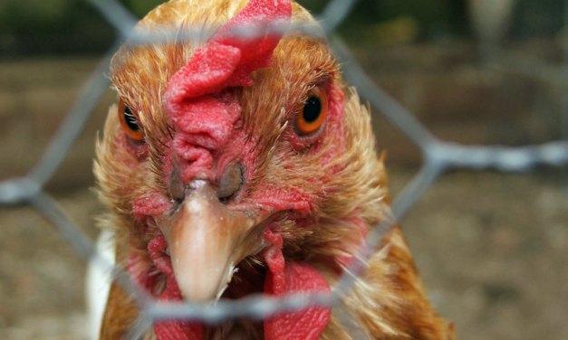 Spektakulärer Hühnerdiebstahl in Alzey