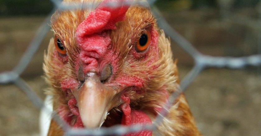 Da gackern ja die Hühner!!!!