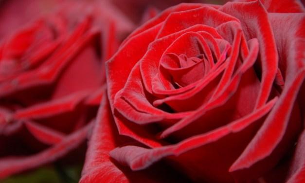 Aggressive Rosenverkäufer in der Mainzer Innenstadt