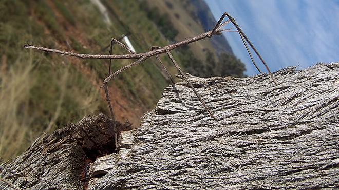 Stick-insect1.jpeg