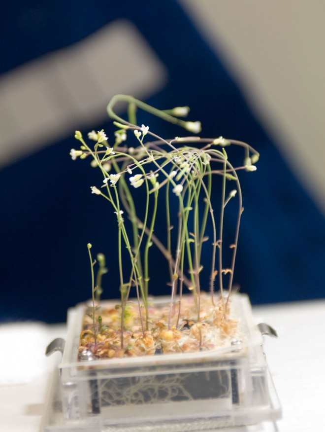Plants growing in the ISS under zero g (NASA, 2009)