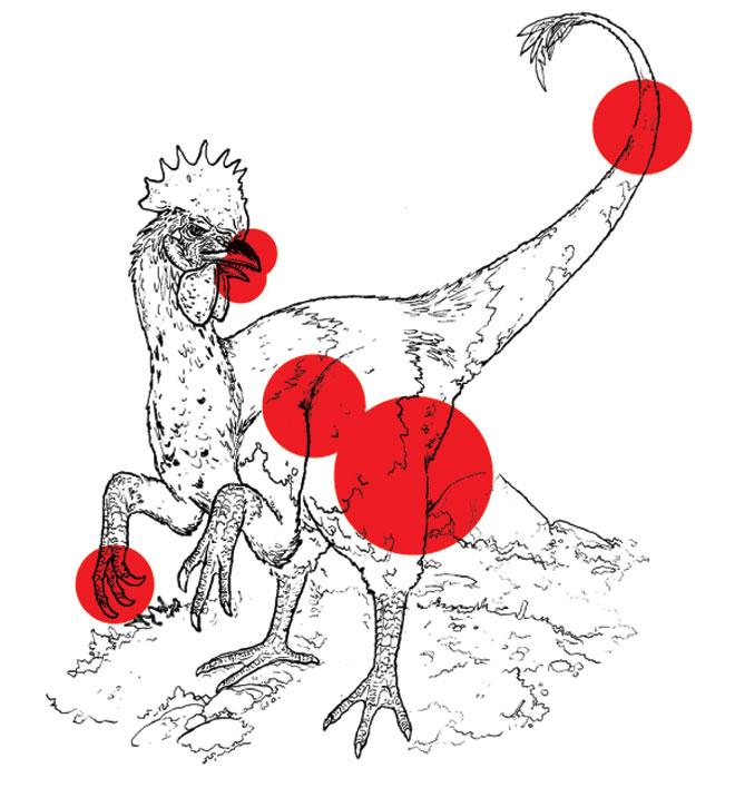 Illustration of a chickensaurus