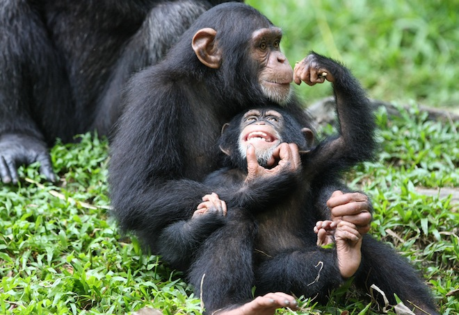 Chimps Not Needed for Hepatitis C Research