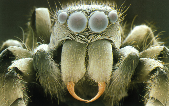 Zebra Jumping Spider Head