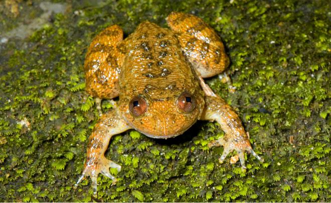 Vub night frog