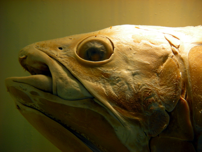The Creature Feature: 10 Fun Facts About the Coelacanth