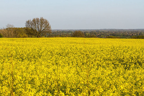 A_sea_of_yellow_rapeseed_flowers (1)