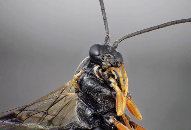 Absurd Creature of the Week: The Wasp Whose Spit Gets It Laid