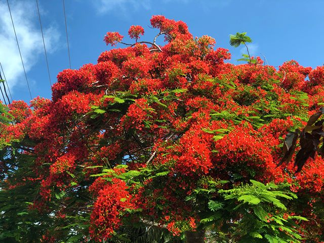 The beautiful Royal Poinciana tree in full bloom that sits on the driveway in and out of my neighborhood. Gorgeous.
