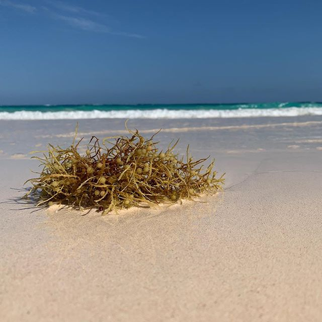 A little seaweed on the sand. Over the last few days because of the direction of the wind Bermuda's beaches are full of seaweed. Not something that we generally see a lot of. Here's a low shot of a single piece on the beach at Elbow Beach