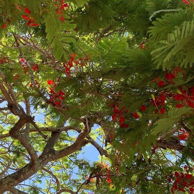 Sunday walk under the Poinciana trees! Beautiful.