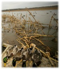 Selective harvest of drakes is a long-standing tradition of skilled waterfowlers...