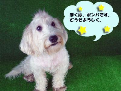 看板犬控え ボンバ(プチ・バセット・グリフォン・バンデーン×ミニチュア・シュナウザーのMix)