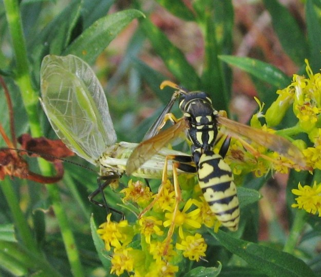 Forbes' Tree Cricket (Oecanthus forbesi) flirting with Polistes wasp; Nancy Collins; 3rd Place
