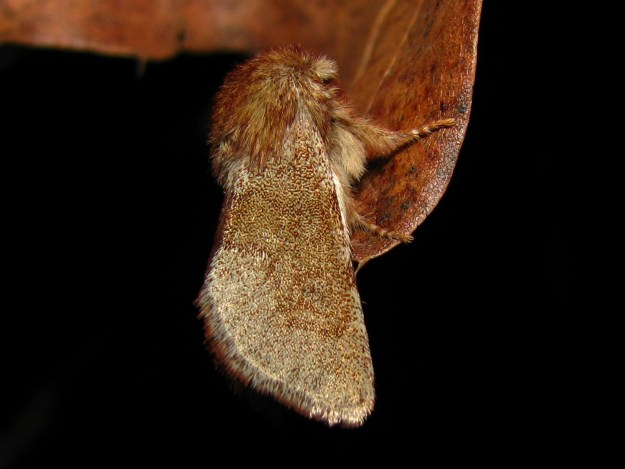 Fawn Sallow (Psaphida styracis) resting on oak leaf; Kyle Johnson; 2nd Place