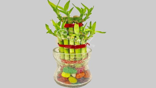 WACC SPECIAL Lucky Bamboo 2 Layer With Long Glass Pot