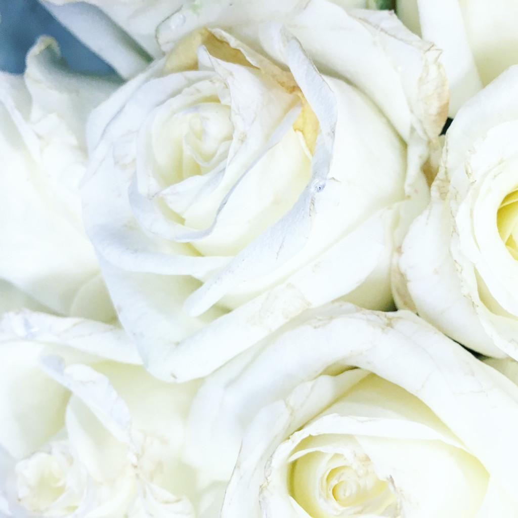 white roses, spring flowers
