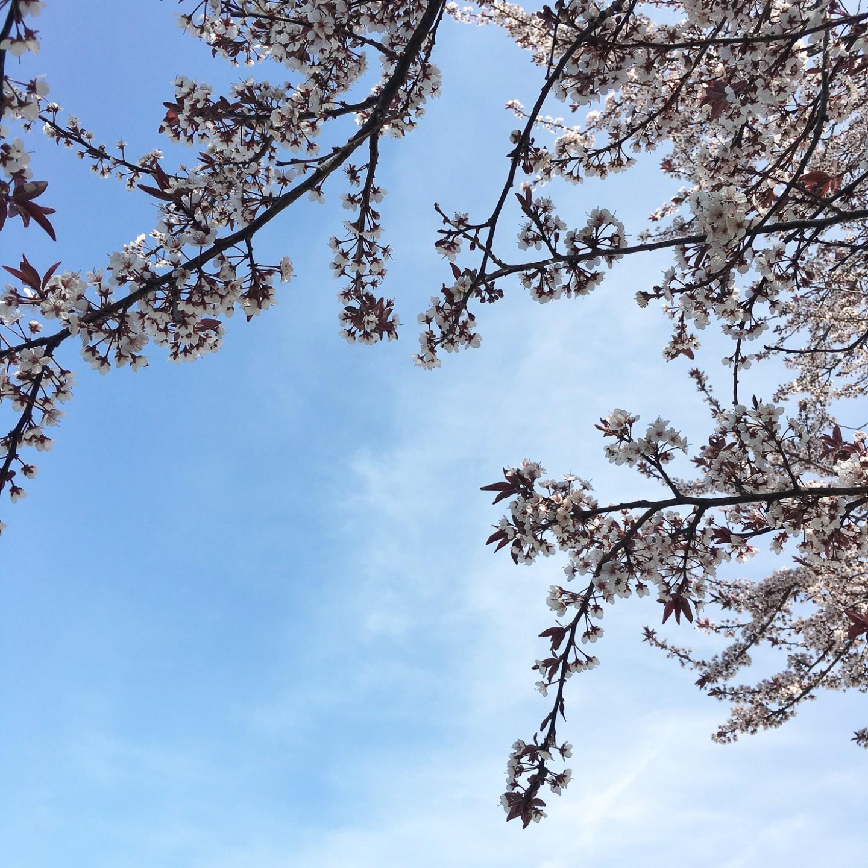 spring-cherry-blossoms