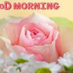Good Morning With Pink Rose