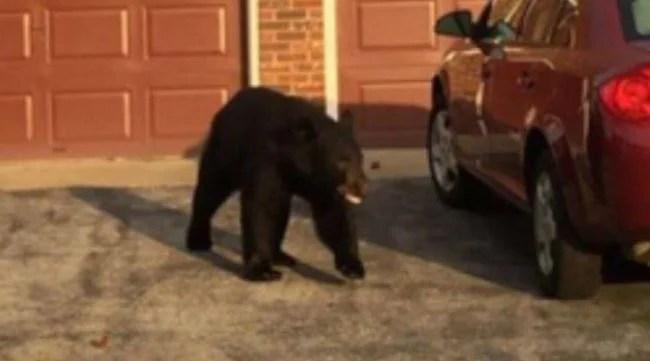 Corydon bear 2_459588